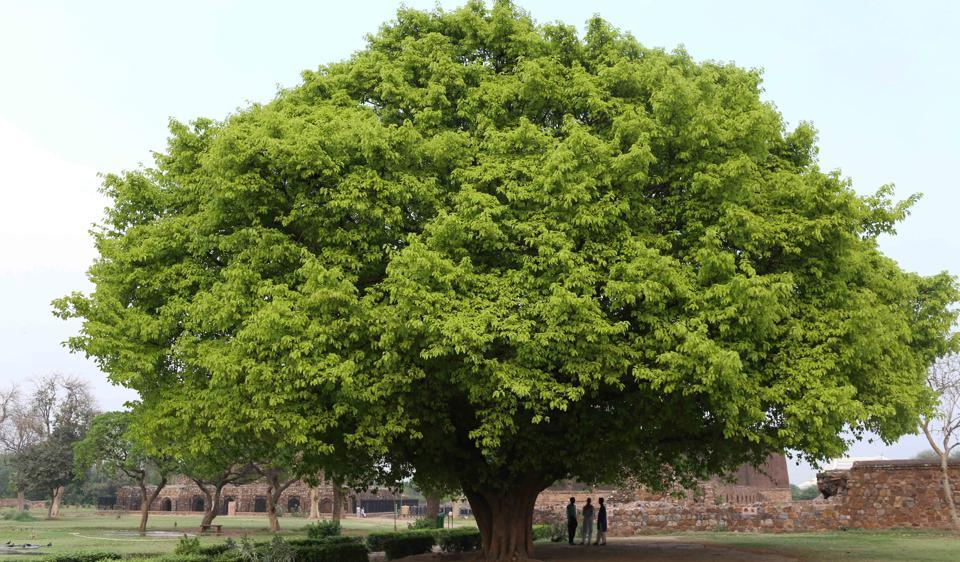 Maintain The Genome Pool Of The Gudalur Tree?